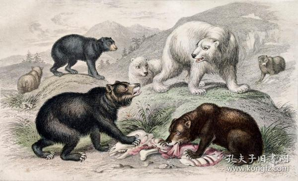 1866版《地球的自然史:动物图谱》—熊/系列彩色雕版画/手工上色/25x16.5cm