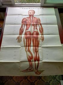 人体背面肌肉的分布状况(57年一版一印)