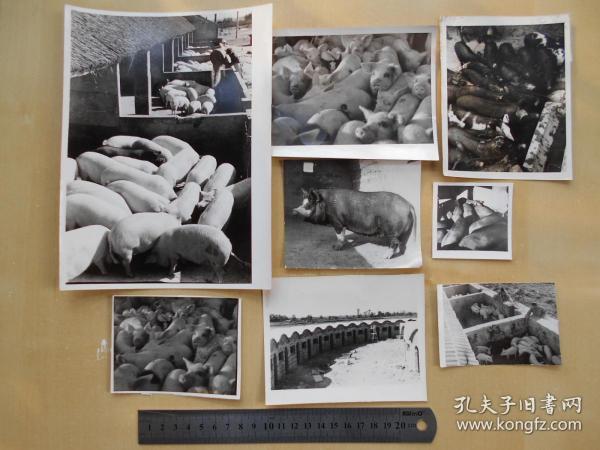 资料室散出,老照片【80年代,农场养猪场,8张】