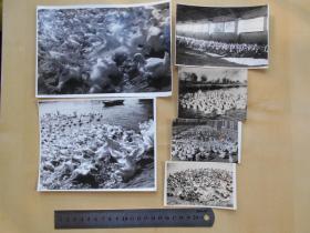 资料室散出,老照片【80年代,农场鸡鸭养殖,6张】