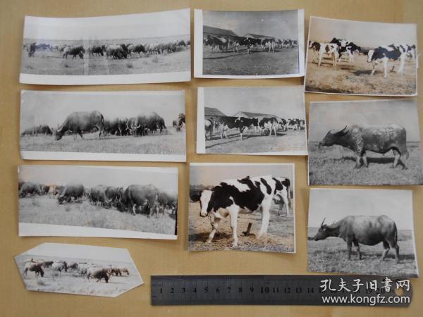 资料室散出,老照片【80年代,农场养牛场,10张】