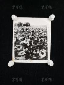 """七十年代 """"解放军采莲蓬""""老照片一大幅(尺寸:30.4*25.5cm) HXTX313620"""