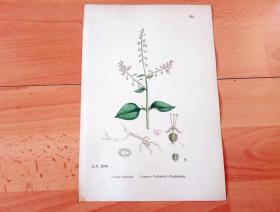 19世纪手工上色钢版画《英国植物花卉图谱511:桃金娘目--柳叶菜科--欧洲水珠草》(Circaea lutetiana)-- 来自19世纪英国著名植物学家John T. Boswell的文献整理,插图出自英国画家John Edward Sowerby,大英博物馆出版 -- 纸张尺寸25.5*17.5厘米 -- 手工上色,非常精美