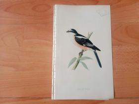 1866年木口木刻版画《欧洲大陆鸟类图谱:雀形目--伯劳科--云斑伯劳》(MASKED SHRIKE)-- 物种资料来自英国艾塞克斯郡自然医学学会和科尔切斯特医院解剖实验室 -- 英国格龙布里奇(Groombridge)出版社出版发行 -- 纸张尺寸25*15厘米 -- 手工上色,高品质,非常精美