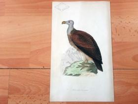 1866年木口木刻版画《欧洲大陆鸟类图谱:隼形目(猛禽)--鹰科--群居秃鹫》(SOCIABLE VULTURE)-- 物种资料来自英国艾塞克斯郡自然医学学会和科尔切斯特医院解剖实验室 -- 英国格龙布里奇(Groombridge)出版社出版发行 -- 纸张尺寸25*15厘米 -- 手工上色,高品质,非常精美