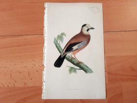 1866年木口木刻版画《欧洲大陆鸟类图谱:雀形目--鸦科--黑头松鸦》(BLACK-HEADED JAY)-- 物种资料来自英国艾塞克斯郡自然医学学会和科尔切斯特医院解剖实验室 -- 英国格龙布里奇(Groombridge)出版社出版发行 -- 纸张尺寸25*15厘米 -- 手工上色,高品质,非常精美