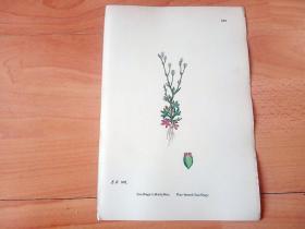 19世纪手工上色钢版画《英国植物花卉图谱552:蔷薇目--虎耳草科--红叶虎耳草》(Saxifraga tridactylites,Rue-leaved Saxifrage)-- 来自19世纪英国著名植物学家John T. Boswell的文献整理,插图出自英国画家John Edward Sowerby,大英博物馆出版 -- 纸张尺寸25.5*17.5厘米 -- 手工上色,非常精美
