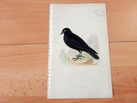 1866年木口木刻版画《欧洲大陆鸟类图谱:雀形目--鸦科--黑寒鸦》(BLACK JACKDAW)-- 物种资料来自英国艾塞克斯郡自然医学学会和科尔切斯特医院解剖实验室 -- 英国格龙布里奇(Groombridge)出版社出版发行 -- 纸张尺寸25*15厘米 -- 手工上色,高品质,非常精美