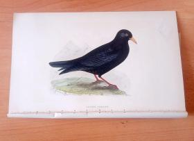 1866年木口木刻版画《欧洲大陆鸟类图谱:雀形目--鸦科--黄嘴山鸦(高原鸟类)》(ALPINE CHOUGH)-- 物种资料来自英国艾塞克斯郡自然医学学会和科尔切斯特医院解剖实验室 -- 英国格龙布里奇(Groombridge)出版社出版发行 -- 纸张尺寸25*15厘米 -- 手工上色,高品质,非常精美