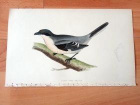 1866年木口木刻版画《欧洲大陆鸟类图谱:雀形目--伯劳科--灰伯劳(北寒露)》(GREAT GREY SHRIKE)-- 物种资料来自英国艾塞克斯郡自然医学学会和科尔切斯特医院解剖实验室 -- 英国格龙布里奇(Groombridge)出版社出版发行 -- 纸张尺寸25*15厘米 -- 手工上色,高品质,非常精美