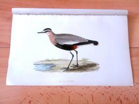 1866年木口木刻版画《欧洲大陆鸟类图谱:鸻形目--鸻科--群居鸻》(SOCIAL PLOVER)-- 物种资料来自英国艾塞克斯郡自然医学学会和科尔切斯特医院解剖实验室 -- 英国格龙布里奇(Groombridge)出版社出版发行 -- 纸张尺寸25*15厘米 -- 手工上色,高品质,非常精美