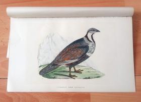 1866年木口木刻版画《欧洲大陆鸟类图谱:鸡形目--雉科--高加索雪鹑》(CAUCASIAN SNOW PARTRIDGE)-- 物种资料来自英国艾塞克斯郡自然医学学会和科尔切斯特医院解剖实验室 -- 英国格龙布里奇(Groombridge)出版社出版发行 -- 纸张尺寸25*15厘米 -- 手工上色,高品质,非常精美