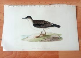 1866年木口木刻版画《欧洲大陆鸟类图谱:鹱形目--鹱科--北极剪水鹱(北极燕鹱)》(AECTIC CINEREOUS SHEARWATER)-- 物种资料来自英国艾塞克斯郡自然医学学会和科尔切斯特医院解剖实验室 -- 英国格龙布里奇(Groombridge)出版社出版发行 -- 纸张尺寸25*15厘米 -- 手工上色,高品质,非常精美