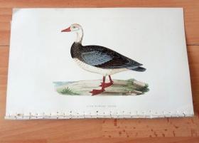 1866年木口木刻版画《欧洲大陆鸟类图谱:雁形目--鸭科--蓝翅雁》(BLUE-WINGED GOOSE)-- 物种资料来自英国艾塞克斯郡自然医学学会和科尔切斯特医院解剖实验室 -- 英国格龙布里奇(Groombridge)出版社出版发行 -- 纸张尺寸25*15厘米 -- 手工上色,高品质,非常精美