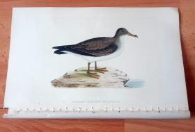 1866年木口木刻版画《欧洲大陆鸟类图谱:鹱形目--鹱科--阿尔及利亚剪水鹱(燕鹱)》(ALGERIAN CINEREOUS SHEAEWATER)-- 物种资料来自英国艾塞克斯郡自然医学学会和科尔切斯特医院解剖实验室 -- 英国格龙布里奇(Groombridge)出版社出版发行 -- 纸张尺寸25*15厘米 -- 手工上色,高品质,非常精美