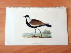 1866年木口木刻版画《欧洲大陆鸟类图谱:鸻形目--鸻科--直翅珩(白颈麦鸡)》(SPUR-WINGED PLOVER)-- 物种资料来自英国艾塞克斯郡自然医学学会和科尔切斯特医院解剖实验室 -- 英国格龙布里奇(Groombridge)出版社出版发行 -- 纸张尺寸25*15厘米 -- 手工上色,高品质,非常精美