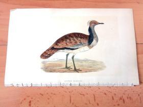 1866年木口木刻版画《欧洲大陆鸟类图谱:鹤形目--鸨科--鸨属--大鸨(匈牙利国鸟)》(RUFFED BUSTARD)-- 物种资料来自英国艾塞克斯郡自然医学学会和科尔切斯特医院解剖实验室 -- 英国格龙布里奇(Groombridge)出版社出版发行 -- 纸张尺寸25*15厘米 -- 手工上色,高品质,非常精美
