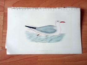 1866年木口木刻版画《欧洲大陆鸟类图谱:鸥形目--鸥科--细嘴鸥》(SLENDER-BILLED GULI)-- 物种资料来自英国艾塞克斯郡自然医学学会和科尔切斯特医院解剖实验室 -- 英国格龙布里奇(Groombridge)出版社出版发行 -- 纸张尺寸25*15厘米 -- 手工上色,高品质,非常精美