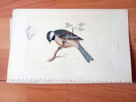1866年木口木刻版画《欧洲大陆鸟类图谱:雀形目--山雀科--山雀属--灰蓝山雀(西伯利亚山雀)》(SIBERIAN TIT)-- 物种资料来自英国艾塞克斯郡自然医学学会和科尔切斯特医院解剖实验室 -- 英国格龙布里奇(Groombridge)出版社出版发行 -- 纸张尺寸25*15厘米 -- 手工上色,高品质,非常精美