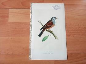 1866年木口木刻版画《欧洲大陆鸟类图谱:雀形目--鹀科--鹀属--黑纹鹀(濒危鸟类)》(STRIOLATED BUNTING)-- 物种资料来自英国艾塞克斯郡自然医学学会和科尔切斯特医院解剖实验室 -- 英国格龙布里奇(Groombridge)出版社出版发行 -- 纸张尺寸25*15厘米 -- 手工上色,高品质,非常精美