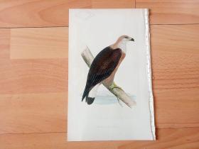 1866年木口木刻版画《欧洲大陆鸟类图谱:隼形目--鹰科--海雕属--玉带海雕(大型猛禽)》(PALLAS'S SEA EAGLE)-- 物种资料来自英国艾塞克斯郡自然医学学会和科尔切斯特医院解剖实验室 -- 英国格龙布里奇(Groombridge)出版社出版发行 -- 纸张尺寸25*15厘米 -- 手工上色,高品质,非常精美