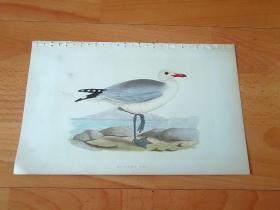 1866年木口木刻版画《欧洲大陆鸟类图谱:鸥形目--鸥科--鸥属--环嘴鸥(奥氏鸥)》(AUDOUIN'S GULL)-- 物种资料来自英国艾塞克斯郡自然医学学会和科尔切斯特医院解剖实验室 -- 英国格龙布里奇(Groombridge)出版社出版发行 -- 纸张尺寸25*15厘米 -- 手工上色,高品质,非常精美