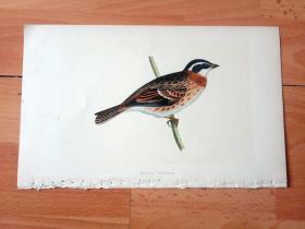 1866年木口木刻版画《欧洲大陆鸟类图谱:雀形目--鹀科--鹀属--田鹀》(RUSTIC BUNTING)-- 物种资料来自英国艾塞克斯郡自然医学学会和科尔切斯特医院解剖实验室 -- 英国格龙布里奇(Groombridge)出版社出版发行 -- 纸张尺寸25*15厘米 -- 手工上色,高品质,非常精美