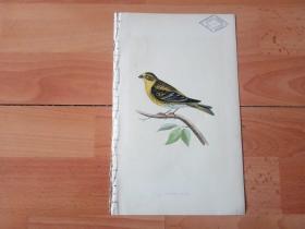 1866年木口木刻版画《欧洲大陆鸟类图谱:雀形目--梅花雀科--梅花雀属--黄腹梅花雀》(SERIN FINCH)-- 物种资料来自英国艾塞克斯郡自然医学学会和科尔切斯特医院解剖实验室 -- 英国格龙布里奇(Groombridge)出版社出版发行 -- 纸张尺寸25*15厘米 -- 手工上色,高品质,非常精美