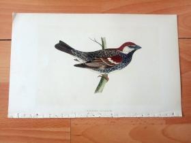 1866年木口木刻版画《欧洲大陆鸟类图谱:雀形目--文鸟科--麻雀属--黑胸麻雀》(SPANISH SPARROW)-- 物种资料来自英国艾塞克斯郡自然医学学会和科尔切斯特医院解剖实验室 -- 英国格龙布里奇(Groombridge)出版社出版发行 -- 纸张尺寸25*15厘米 -- 手工上色,高品质,非常精美
