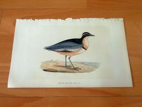 1866年木口木刻版画《欧洲大陆鸟类图谱:鸻形目--鸻科--黑头鸻(仅分布于澳大利亚的频危鸟类)》(BLACK-HEADED PLOVER)-- 物种资料来自英国艾塞克斯郡自然医学学会和科尔切斯特医院解剖实验室 -- 英国格龙布里奇(Groombridge)出版社出版发行 -- 纸张尺寸25*15厘米 -- 手工上色,高品质,非常精美