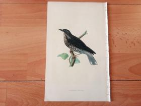 1866年木口木刻版画《欧洲大陆鸟类图谱:雀形目--鸫科--地鸫属--白眉地鸫》(SIBERIAN THRUSH)-- 物种资料来自英国艾塞克斯郡自然医学学会和科尔切斯特医院解剖实验室 -- 英国格龙布里奇(Groombridge)出版社出版发行 -- 纸张尺寸25*15厘米 -- 手工上色,高品质,非常精美