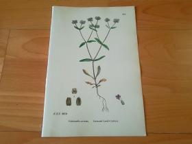 19世纪手工上色钢版画《英国植物花卉图谱670:茜草目--败酱科--缬草属--卡氏缬草》(Valerianella Carinata)-- 来自19世纪英国著名植物学家John T. Boswell的文献整理,插图出自英国画家John Edward Sowerby,大英博物馆出版 -- 纸张尺寸25.5*17.5厘米 -- 手工上色,非常精美,后附照片