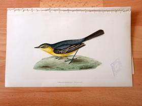1866年木口木刻版画《欧洲大陆鸟类图谱:雀形目--鹡鸰科--鹡鸰属--黄头鹡鸰》(YELLOW-HEADED WAGTAIL)-- 物种资料来自英国艾塞克斯郡自然医学学会和科尔切斯特医院解剖实验室 -- 英国格龙布里奇(Groombridge)出版社出版发行 -- 纸张尺寸25*15厘米 -- 手工上色,高品质,非常精美