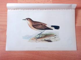 1866年木口木刻版画《欧洲大陆鸟类图谱:雀形目--鹟科--鵖属--穗鵖(穗䳭)》(MENETRIE'S WHEATEAR)-- 物种资料来自英国艾塞克斯郡自然医学学会和科尔切斯特医院解剖实验室 -- 英国格龙布里奇(Groombridge)出版社出版发行 -- 纸张尺寸25*15厘米 -- 手工上色,高品质,非常精美