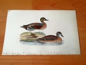 1866年木口木刻版画《欧洲大陆鸟类图谱:雁形目--鸭科--鸭属--原印度咯咯叫水鸭》(Clucking Teal)-- 物种资料来自英国艾塞克斯郡自然医学学会和科尔切斯特医院解剖实验室 -- 英国格龙布里奇(Groombridge)出版社出版发行 -- 纸张尺寸25*15厘米 -- 手工上色,高品质,非常精美