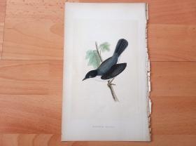 1866年木口木刻版画《欧洲大陆鸟类图谱:雀形目--莺科--莺属--黑头林莺(又称黄鸟、黄鹂、仓庚、青鸟)》(SARDINIAN WARBLER)-- 物种资料来自英国艾塞克斯郡自然医学学会和科尔切斯特医院解剖实验室 -- 英国格龙布里奇(Groombridge)出版社出版发行 -- 纸张尺寸25*15厘米 -- 手工上色,高品质,非常精美