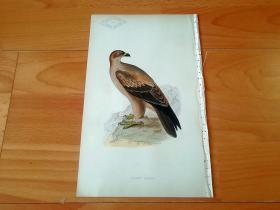 1866年木口木刻版画《欧洲大陆鸟类图谱:隼形目--鹰科--雕属--茶色雕(埃及国鸟)》(TAWNY EAGLE)-- 物种资料来自英国艾塞克斯郡自然医学学会和科尔切斯特医院解剖实验室 -- 英国格龙布里奇(Groombridge)出版社出版发行 -- 纸张尺寸25*15厘米 -- 手工上色,高品质,非常精美,后附照片