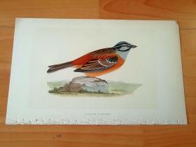 1866年木口木刻版画《欧洲大陆鸟类图谱:雀形目--鹀科--鹀属--三道眉草鹀(别名犁雀儿)》(MEADOW BUNTING)-- 物种资料来自英国艾塞克斯郡自然医学学会和科尔切斯特医院解剖实验室 -- 英国格龙布里奇(Groombridge)出版社出版发行 -- 纸张尺寸25*15厘米 -- 手工上色,高品质,非常精美,后附照片