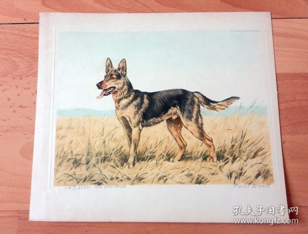 彩色原创老蚀刻《世界名犬:德国牧羊犬(黑贝)》(Canis lupus familiaris)-- 出自德国艺术家Paul Wood的原创作品,带签名 -- 德国牧羊犬别名德国黑背(贝),也就是人们常说的德国狼犬 -- 版画纸张24.5*21.5厘米