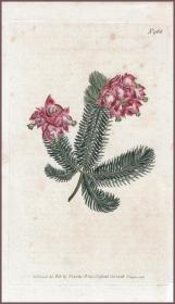 1799年手工上色铜版画《南非欧石楠植物》,23.4*13.5cm