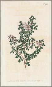 1806年手工上色铜版画《南非青葙豆属植物》,21.2*13.5cm
