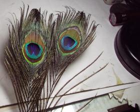 2尾小的孔雀羽