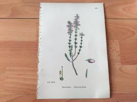19世纪手工上色钢版画《英国植物花卉图谱891:杜鹃花目--杜鹃花科--欧石楠属--紫花欧石楠(挪威国花)》(Erica cinerea,Fine-leaved Heath)-- 来自19世纪英国著名植物学家John T. Boswell的文献整理,插图出自英国画家John Edward Sowerby,大英博物馆出版 -- 纸张尺寸25.5*17.5厘米 -- 手工上色,非常精美
