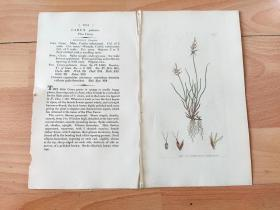 1805年铜版雕刻《爱德华·史密斯的英国植物花卉图谱1051:莎草科--刺喙苔草(分布于中国西藏高原)》(CAREX pulicaris,Flea Carex)-- 英国著名植物学家,詹姆斯·爱德华·史密斯(James Edward Smith)编辑,版画由英国画家James Sowerby(1757–1822)雕刻,伦敦林奈学会出版发行 -- 附英文说明,手工上色 -- 版画纸张28*23厘米