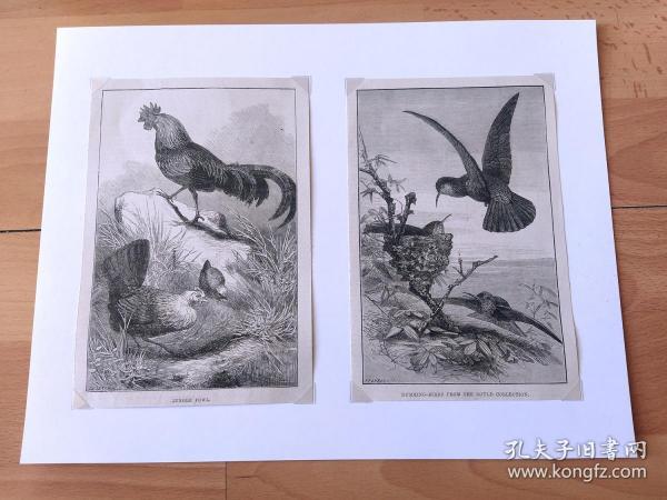 19世纪大幅木刻版画《动物图谱(鸟类):原鸡(鸟纲、雉科的一种走禽);蜂鸟》(JUNGLE FOWL;HUMMING-BIRDS FROM THE GOULD COLLECTION)-- 出自19世纪著名英国动物学家、鸟类艺术家,约翰·古尔德(John Gould, 1804-1881)出版作品 -- 后附卡纸32*25厘米,版画纸张19*13厘米、19*12.5厘米
