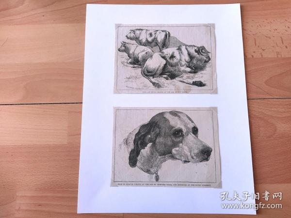19世纪大幅木刻版画《动物图谱:世界名犬,波音达猎犬(又名指示猎犬,13岁犬首图)》(COWS AND BULLS;HEAD OF POINTER)-- 出自英国维多利亚时期著名画家,埃德温·兰德希尔(Edwin Landseer,1802-1873)作品 -- 波音达猎犬(指示猎犬),原产英国,起源于17世纪,因其忠诚而得此名 -- 后附卡纸32*25厘米,版画纸张16*12厘米、16*12厘米
