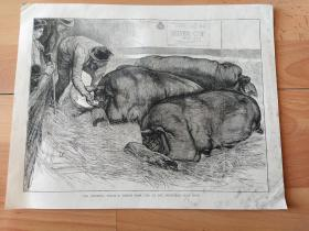 19世纪大幅木刻版画《世界珍稀品种:英国大黑猪的最后晚餐》(THE FINISHING TOUCH)-- 出自19世纪著名英国动物画家,詹姆斯·哈迪(James Hardy,1832–1889)作于1870年的油画作品 -- 描绘养猪场内进食最后一餐的场景;英国大黑猪起源于16至17世纪的英国的康沃尔郡,德文郡和萨默塞特西部 -- 选自图形艺术画报 -- 版画纸张39*27厘米