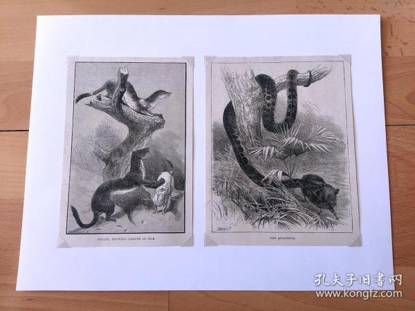 19世纪大幅木刻版画《动物图谱:短尾鼬的皮毛变化(冬季披白色毛,夏季披棕色毛);掠视中的水蟒》(STOATS,SHOWING CHANGE OF FUR;THE ANACONDA)-- 后附卡纸32*25厘米,版画纸张17*13.5厘米、17*12厘米