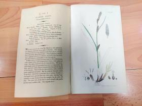 1805年铜版雕刻《爱德华·史密斯的英国植物花卉图谱1235:莎草目--莎草科--薹草属--青绿薹草》(CAREX binervis,Green-ribbed Carex)-- 由英国著名植物学家,詹姆斯·爱德华·史密斯(James Edward Smith)编辑,版画由英国画家James Sowerby(1757–1822)雕刻,伦敦林奈学会出版发行 -- 手工上色 -- 版画纸张28*23厘米