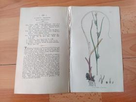 1805年铜版雕刻《爱德华·史密斯的英国植物花卉图谱1098:莎草目--苔草属--草原苔草》(CAREX depauperata,Starved Wood Carex)-- 由英国著名植物学家,詹姆斯·爱德华·史密斯(James Edward Smith)编辑,版画由英国画家James Sowerby(1757–1822)雕刻,伦敦林奈学会出版发行 -- 附英文详细说明-- 版画纸张28*23厘米